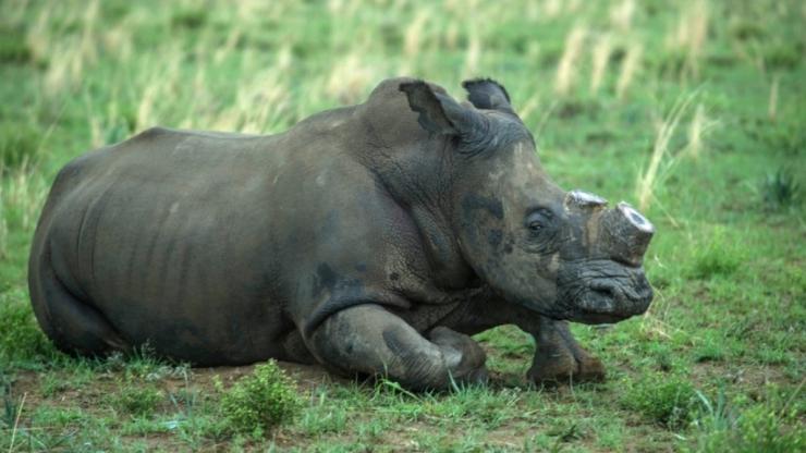 _rinoceronte4