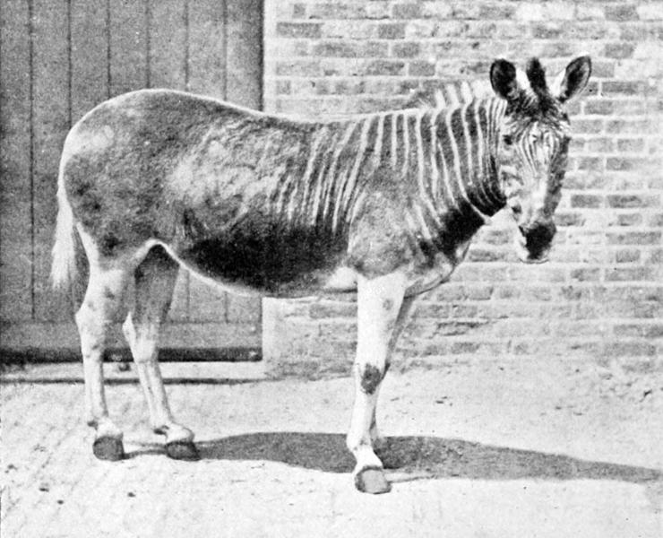 22_quagga_1870_zoo_londra